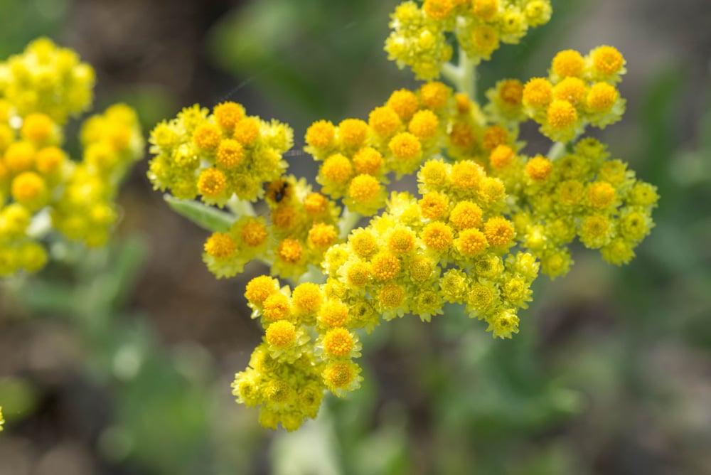 Helichrysum-Italicum -plant